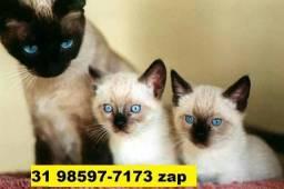 Gatil em BH Maravilhosos Filhotes de Gatos Siamês Persa ou Angora