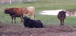 Vendo lote de vacas,novinhas e touros