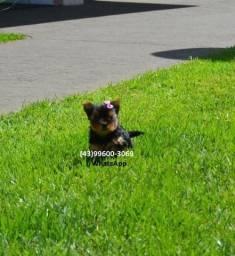 Yorkshire Terrier filhotes disponíveis para você!!