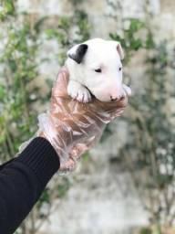 Bull Terrier Inglês pirata/fulvo/tricolor/white e blackbrindle, machos e fêmeas