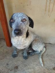 Doa- se linda cachorrinha Basset com blue heler (eu acho)