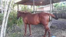 Cavalo.leia