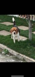 Procuro beagle macho puro