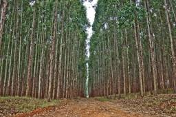 Moitas de eucaliptos