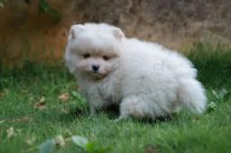 Filhote de Spitz Alemão (Lulu) macho branco/creme pérola
