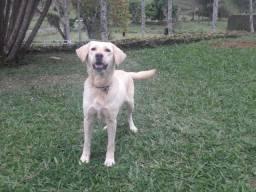 Vende-se uma linda cachorra labrador