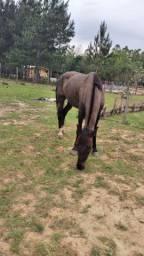 Cavalo Capado  manso para crianças.