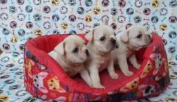 Filhotes de Bulldogue francês