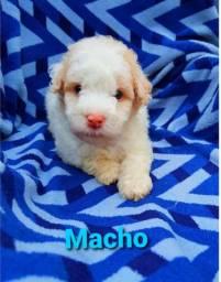Poodle legítimo/// macho