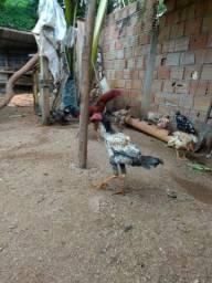 Vendo galinhas e filhotes de ganso