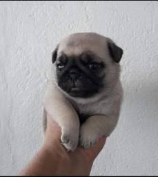 Pug para reserva