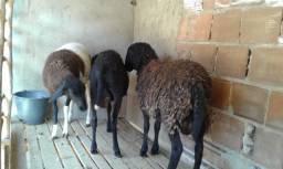 Carneiro e ovelha