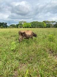 Vaca Leiteira Jersey