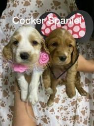 Cocker Spaniel com pedigree microchip até em 18x