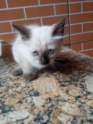 Doação  gatinha  siamês