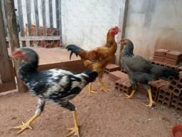 Vendo frango caipira