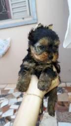 Yorkshire Terrier casal