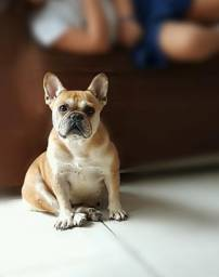 Bulldogue francês femea