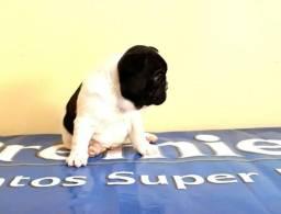 Bulldog Francês macho pedigree de campeões, microchip, vacinado, vermifugado