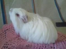 Porquinho da Índia Sheltie albino macho filhote