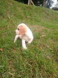 Filhote femea de beagle