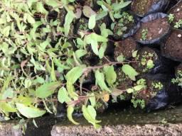 Mudas de Eucalipto Citriodora (limão - Cheiroso)