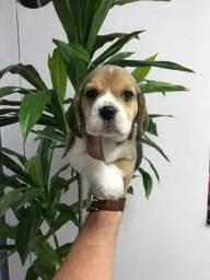 Beagles à pronta entrega e garantias de saúde/vida c/ assistência vet.