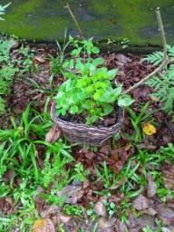 Moringa Oleífera e Ora-pro-nóbis: mudas e sementes orgânicas