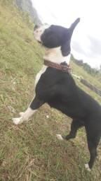 American staffordshire terrier! Super Docil no cio