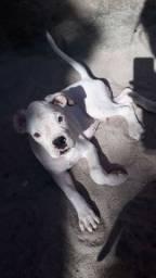 Cão raça boxer 550,00