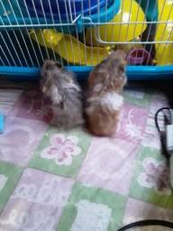 Vendo 2 hamster macho e femia