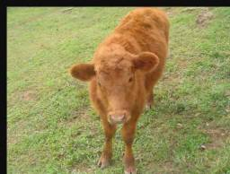 Bezerro Red Angus