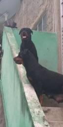 Rottweiler Cabeça de Touro para vender