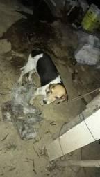 Cachorra beagle com americano