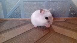 Hamsters - 2 filhotes 35 reais cada