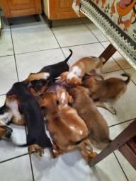 Doação de filhotes em Umuarama, PR