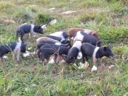 Porcos apartados