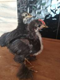 Casal de frangos mini conchim