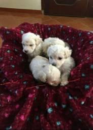 Lindos filhotes de poodle mini toy disponível a pronta entrega