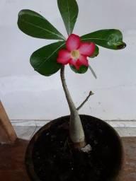 Linnda Rosa do Deserto