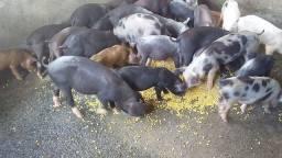 Porco (leitão)