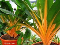 Plantas Lúminas (Chlorophytum orchidastrum). R$ 800 Lote com 50 Plantas adultas.