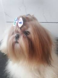 cachorro adulto