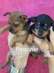 Pinscher miniatura com pedrigree microchip até em 18x