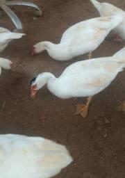 Pato marreco galo Brama e sedosas