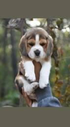 Baby Beagle fêmea tricolor disponível na Espaço Vet!
