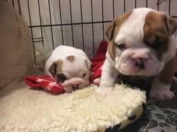 Bulldog Inglês contrato de garantia genética e viral.