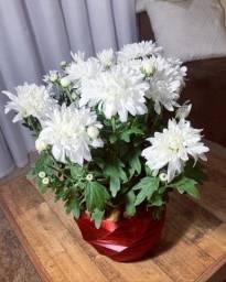 Crisântemo em vaso 3D geométrico (planta natural)