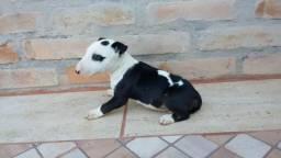 Bull Terrier Inglês com pedigree