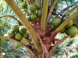 Venda coco verde anão